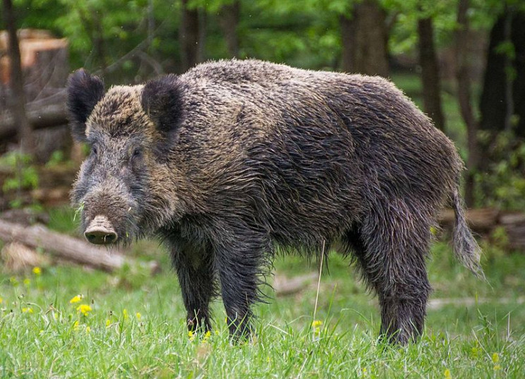 African Swine Fever-Infected Meat Was Discovered in the UK For First Time
