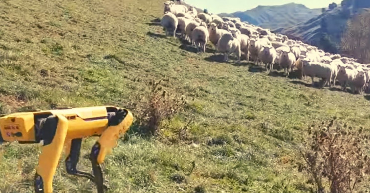 Watch This Boston Dynamics Robot Herd Flock of Sheep in New Zealand