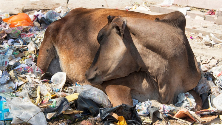 Microbes in Cow Stomachs May Help Our Plastic Problem