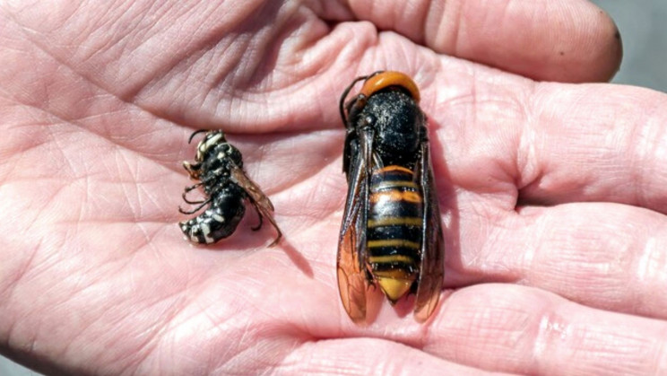 Remember Murder Hornets? New Report Confirms They're Back