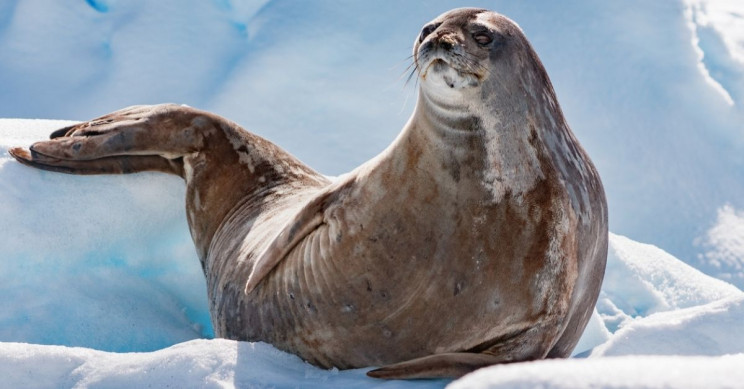 Apparently Antarctic Seals Love 'Pew-Pewing' at Each Other