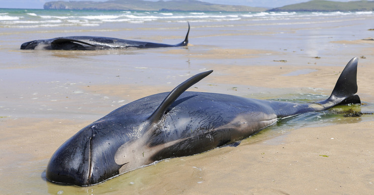 Rescuers Race Against Time to Save 270 Whales Stranded in Australia