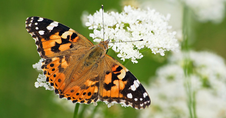 Millions of 'Painted Lady' Butterflies Could Land in the U K
