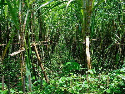 biofuel sources sugarcane