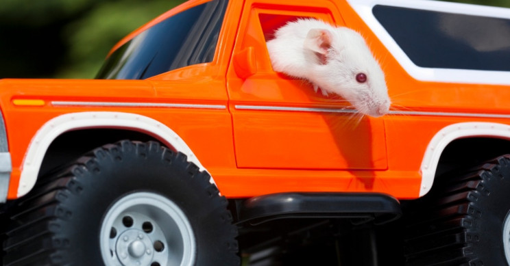 Rat race: Rodents drive tiny cars