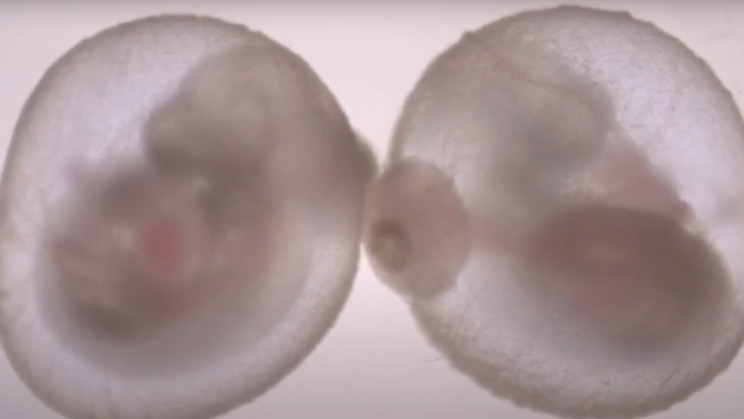 A Mouse Embryo Was Grown In An Artificial Womb In a World First