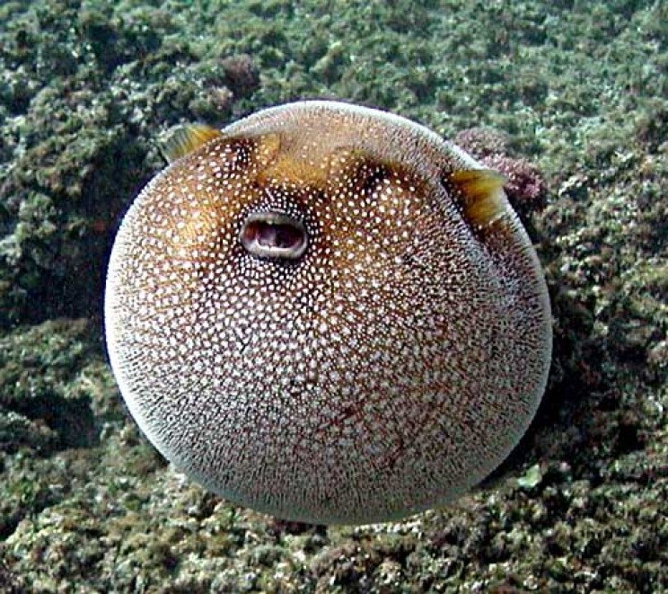 most dangerous ocean animals pufferfish