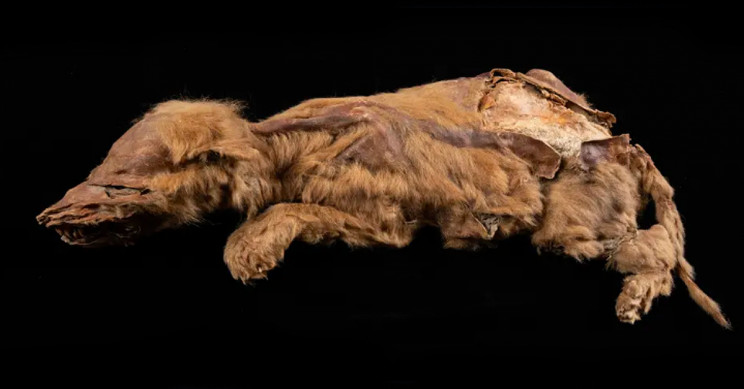 Gold Miner Finds 57,000-Year-Old Wolf Pup in Yukon Permafrost