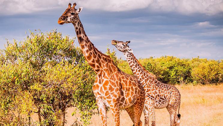 A Gene Mutation in Giraffes Could Help Treat Human Heart Disease