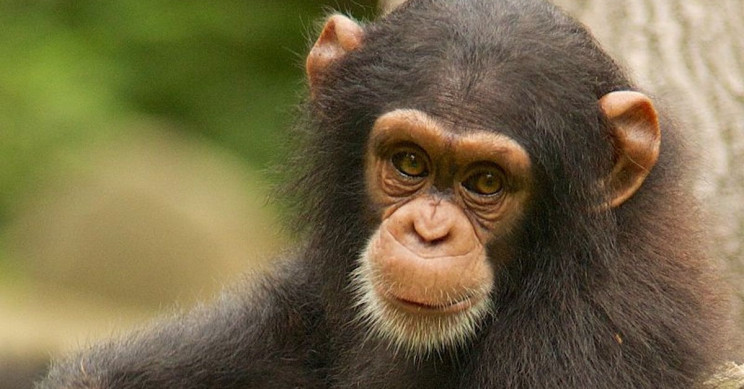 New AI Software Developed for Facial Recognition of Wild Chimpanzees