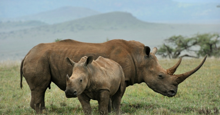 Scientists Plan to Flood Poachers' Market with Fake Rhino Horns