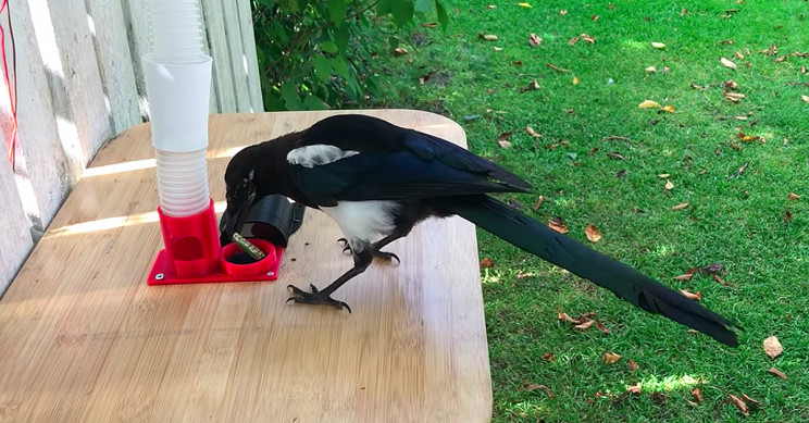 Magpies Trained to Exchange Litter for Food with DIY Bird Feeder