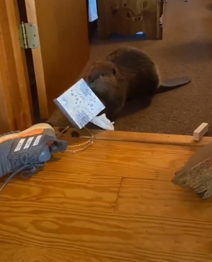 Rescue Beaver Builds Doorway Dams Using Household Items