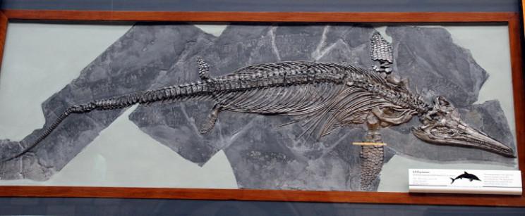 Ichthyosaurus skeleton
