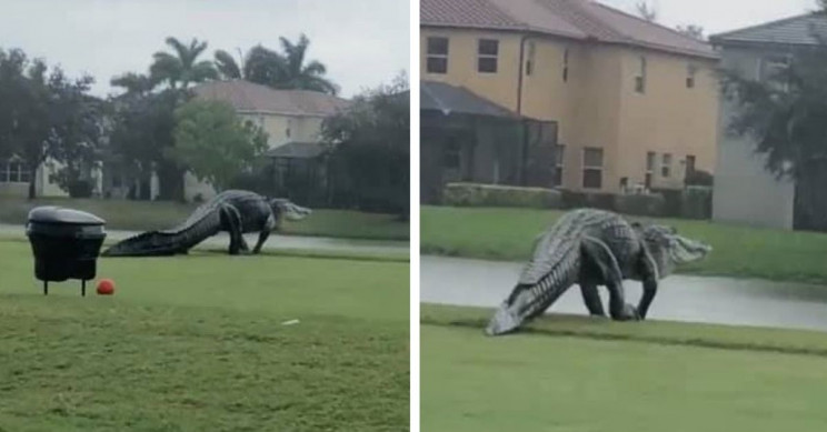 Very big alligator takes a leisurely tour around Florida golf course