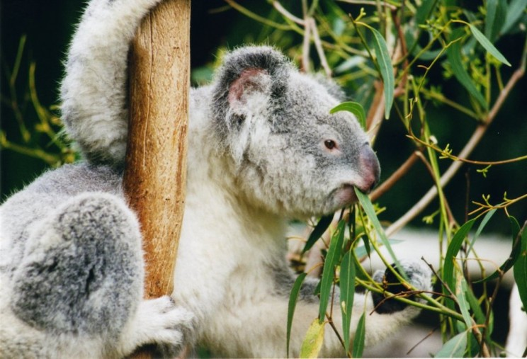 "The Cuddly Koala May Become ""Functionally Extinct"" if Immediate Action Is Not Taken"