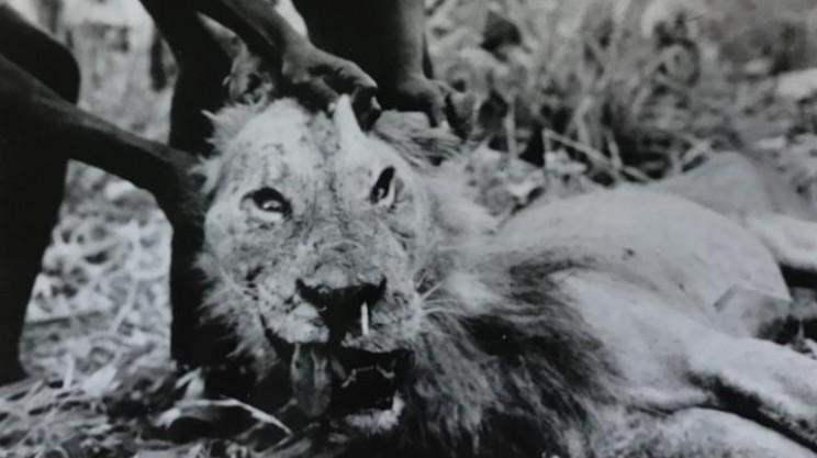 No Pain No Gain: Why Lions Hunt Porcupines Despite Often Losing