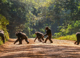 Chimpanzees Were Observed Killing Gorillas For the First Time