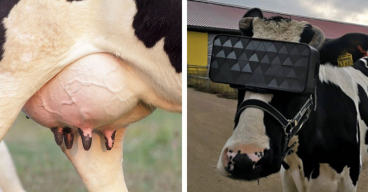 Redditors Debate How Much Milk a Cow Needs to Produce to Afford a VR Headset