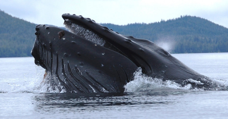 A Humpback Whale Straining Krill