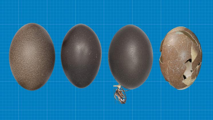 Scientist Finds First Complete Egg of Extinct Dwarf Emu in Sand Dune