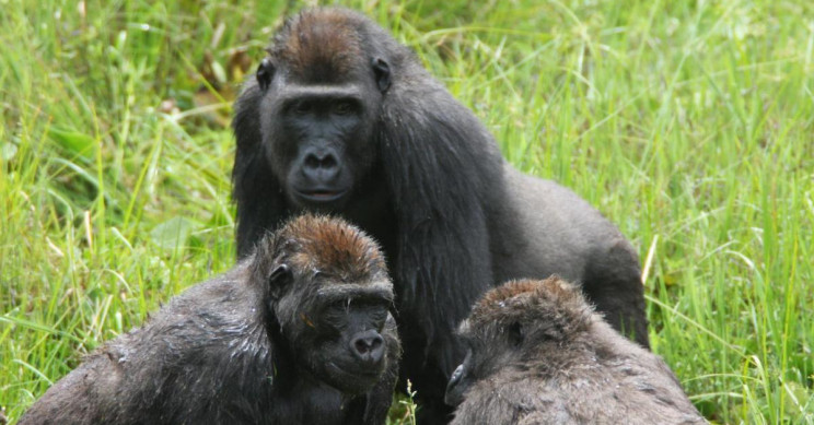 New Study on Gorillas Could Help Understand the Origins of Human Social Evolution
