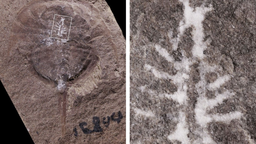 310-Million 12 months Outdated Fossil Sheds Mild on Horseshoe Crab Brains