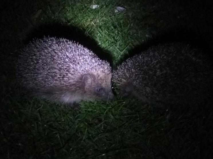 uv vision hedgehog