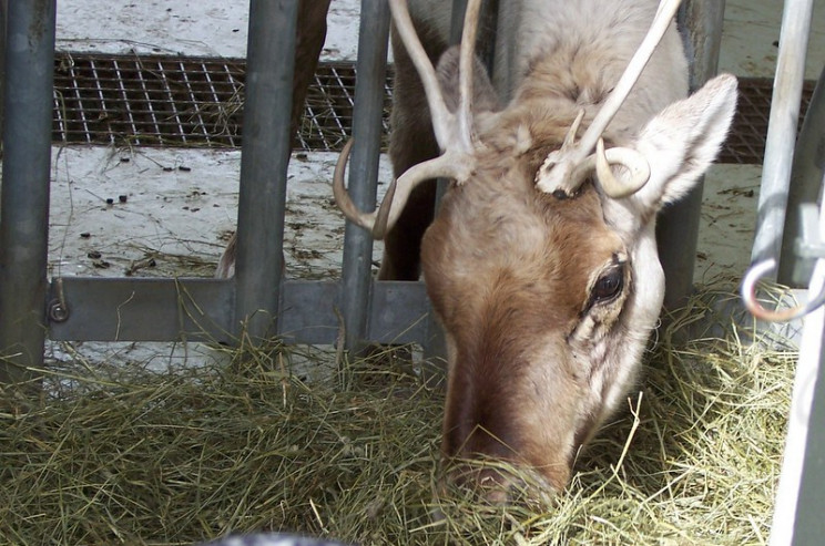 uv light vision reindeer
