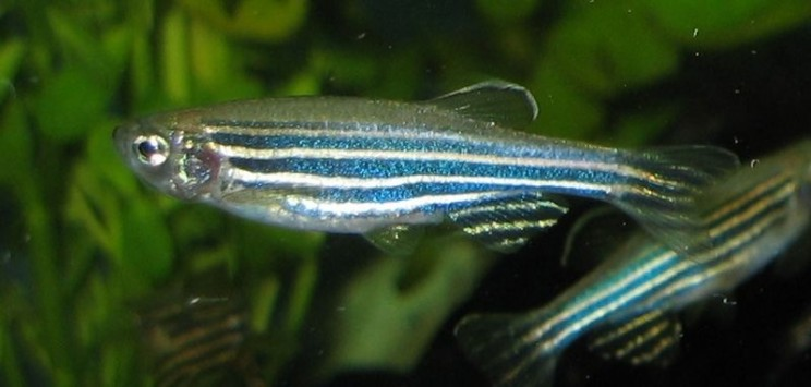 This Study of Mutant Zebrafish Could Help Treat Autism In The Future