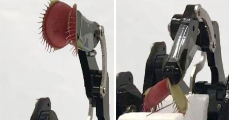 Engineers Turned Living Venus Flytrap Into Cyborg Robotic Grabber
