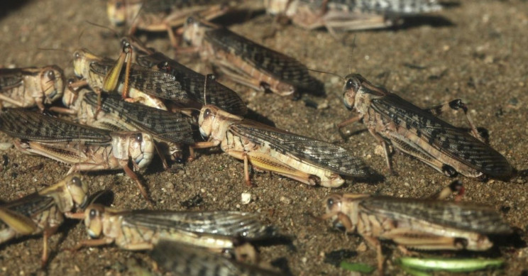 Researchers Mimic Locust Brains to Improve Self-Driving Cars