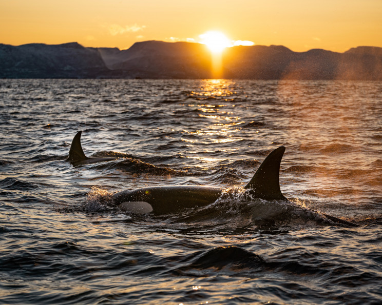 Two orca whales break the water's surface at sunset.