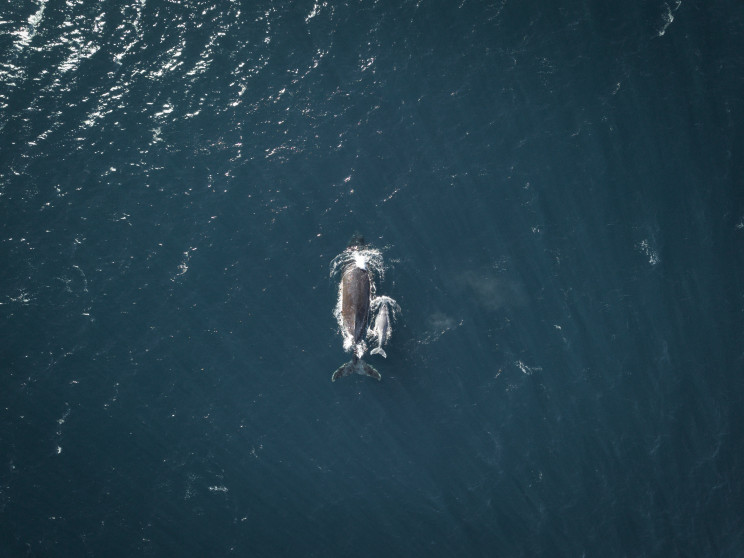 An aerial photo of a humpback whale mother and her calf swimming next to her.