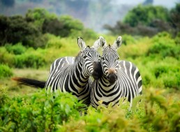 New Research Reveals Zebra Stripes Are Used to Control Their Body Temperature
