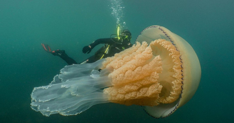 Massive Human-Sized Jellyfish Caught on Camera off the English Coast