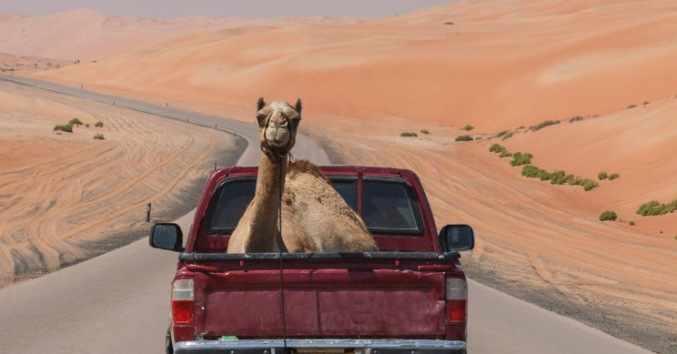 Camels Originated in North America, Probably Roamed Hollywood