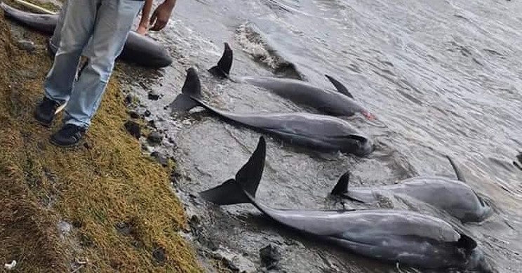 Dead Dolphins and Whales Wash Ashore After Mauritius Oil Spill