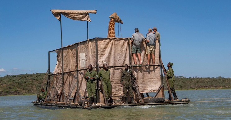 Community Built Raft To Rescue Giraffes From Flooded Island in Kenya