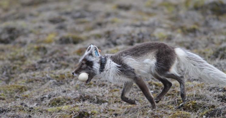 Climate Change Shifts Arctic Animals' Seasonal Movements