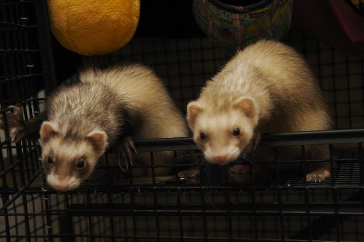 neuroscience research ferrets