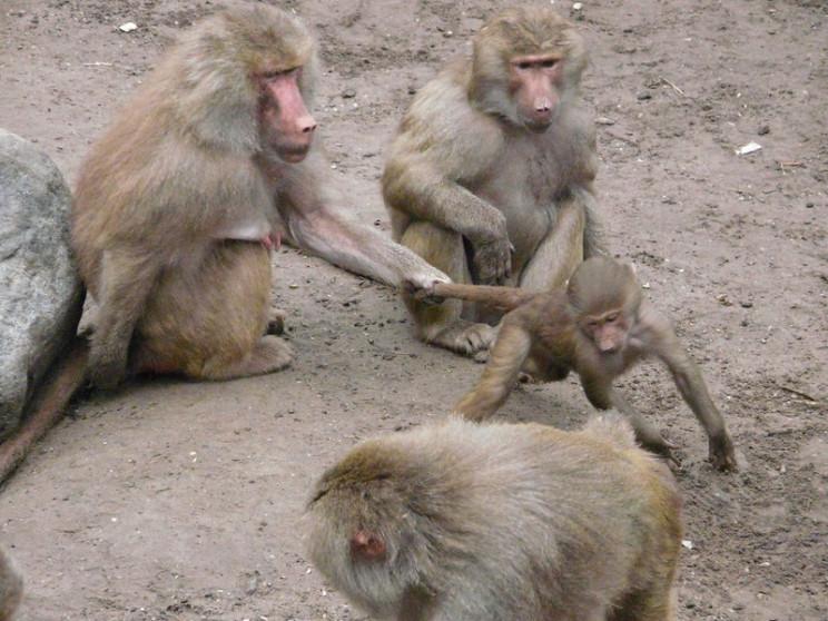 neuroscience research monkeys