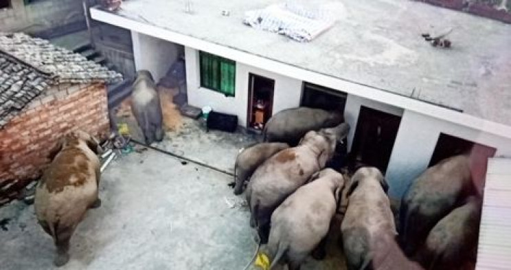 "Wild ""Sober"" Elephants Break Into Village, Searching for Food in Southwest China"