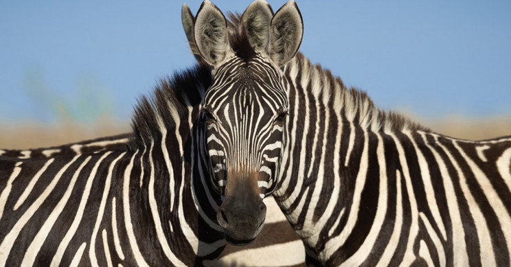 Image of Two Zebras Left People Divided Over Which One Is Looking at the Camera