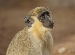 Monkeys Learning About Drones Offers Insight into the Evolution of Language