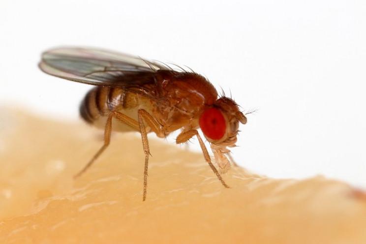 jeffery hall fruit flies