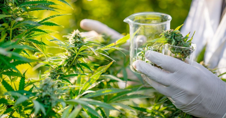 Hidden Antibiotic Potential of Cannabis Discovered by Scientists
