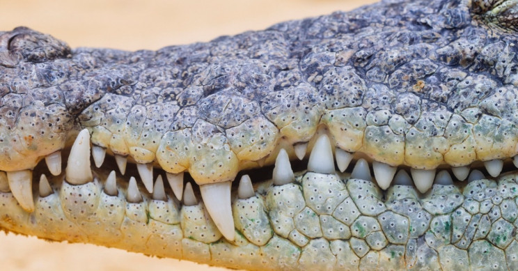 Crocodiles Don't Need Thick Teeth Enamel; They Just Grow New Ones