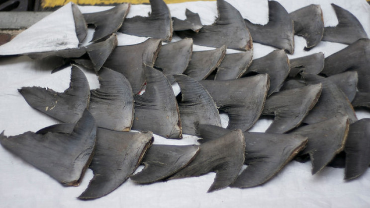 Britain Has Exported Over 50 Tonnes of Shark Fins since 2017