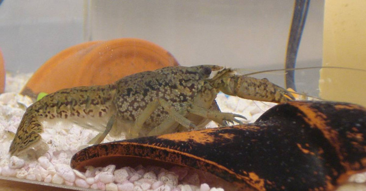 Self-Cloning Crayfish Invade a Cemetery in Belgium